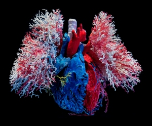heart-lungs