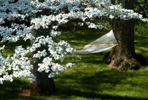 hammock with dogwoods