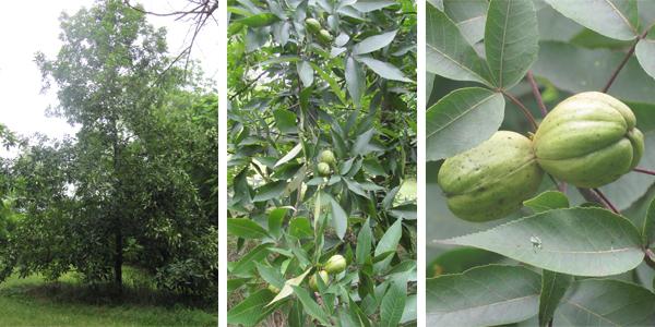 The-Hickory-Tree