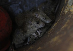 rats-could-be-flushed-out-sewers-into-people039s-homes