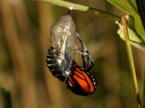 gm-monarch-hatchingout_24312_600x450